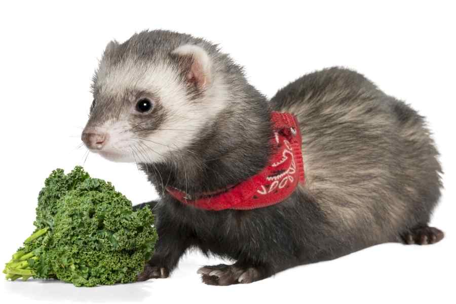 a ferret on a white background looking at some kale in front of it