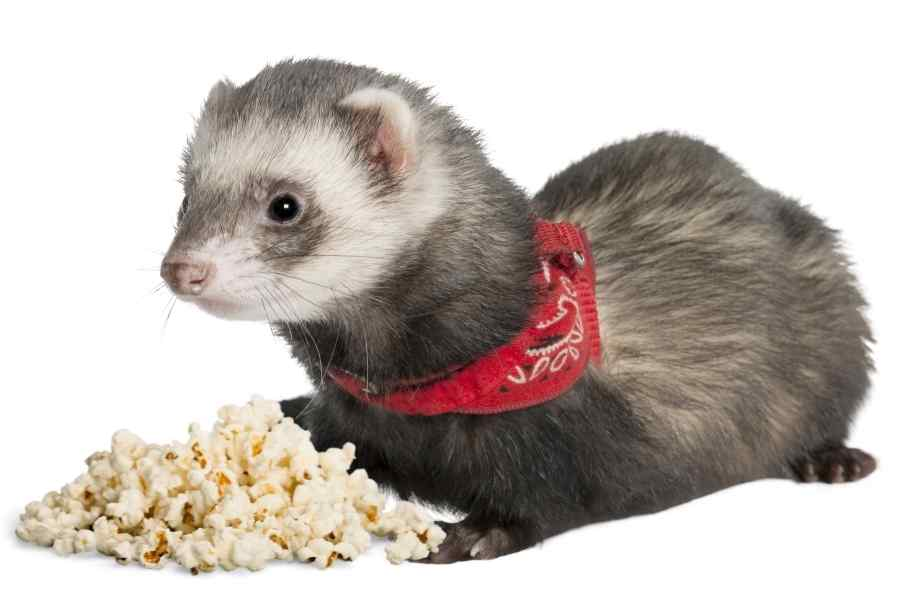 a ferret on a white background looking at some popcorn in fron of it
