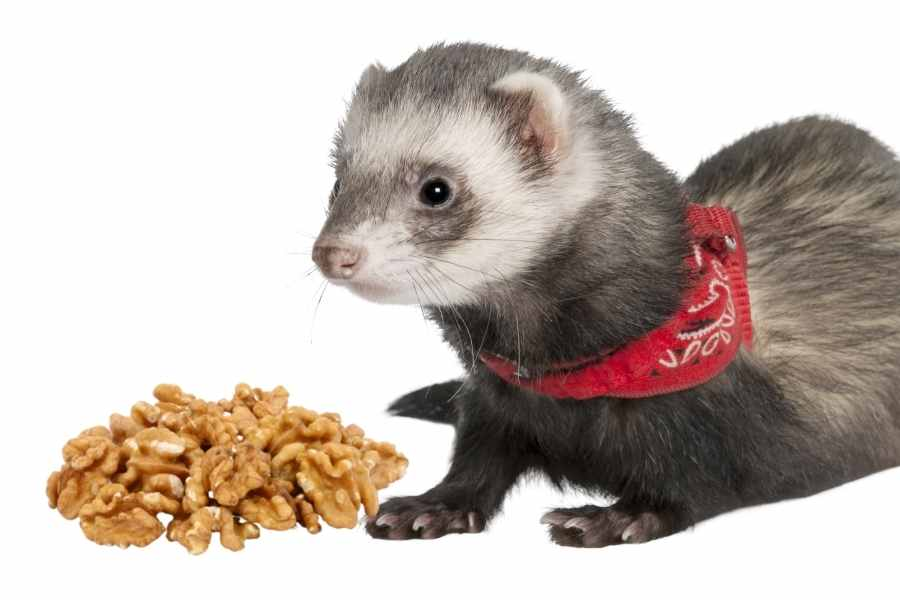 a ferret on a white background looking at some walnuts