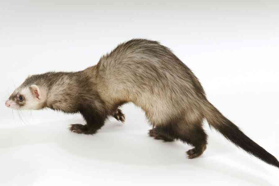 a ferret on a white background walking and looking to the left