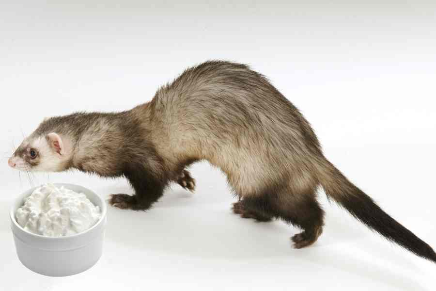 a ferret on a white background walking by a bowl of cottage cheese