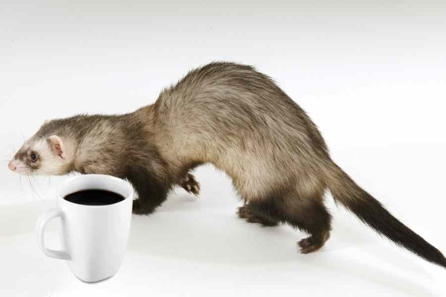 a ferret on a white background walking by a mug of coffee