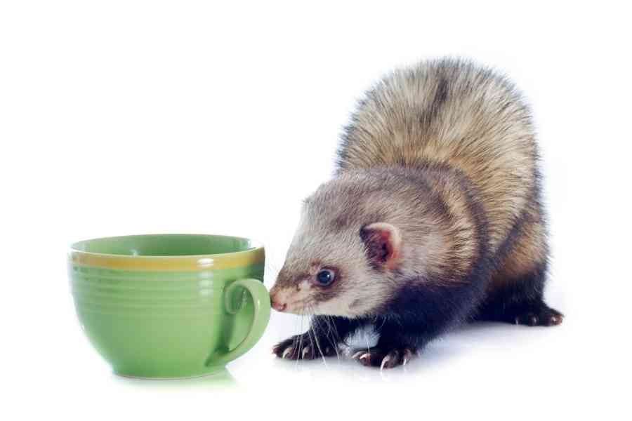ferret looks at green cupp wants to drink