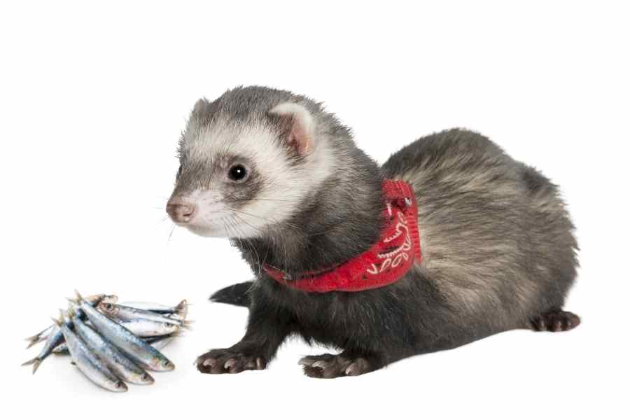 a ferret on a white background looking at some raw sardines
