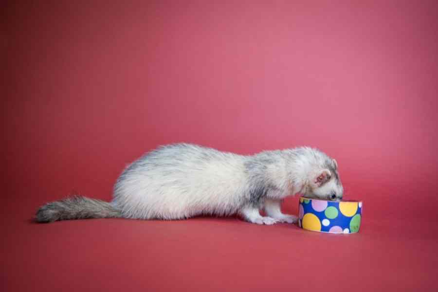 a grey ferret eating out of its bowl on a red background