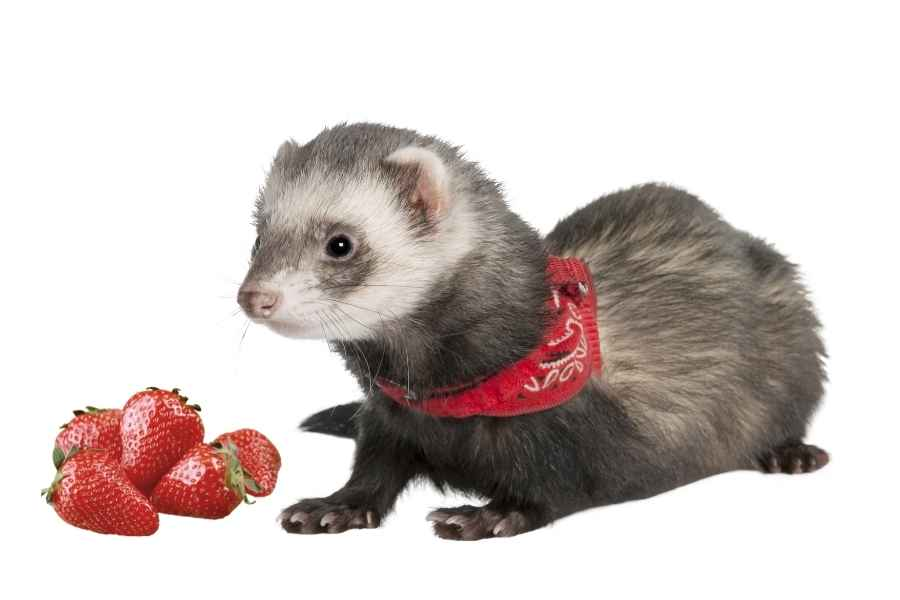 a ferret on a white background looking at some strawberries