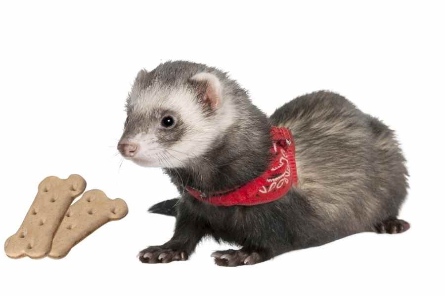 ferret on a white background looking at some dog biscuits