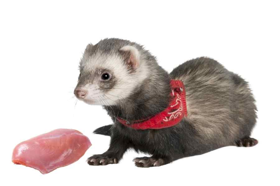 ferret on a white background looking at some raw turkey breasts